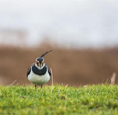 Northern Lapwing (Vanellus vanellus) -- Zeeland / Netherlands -- December 2014