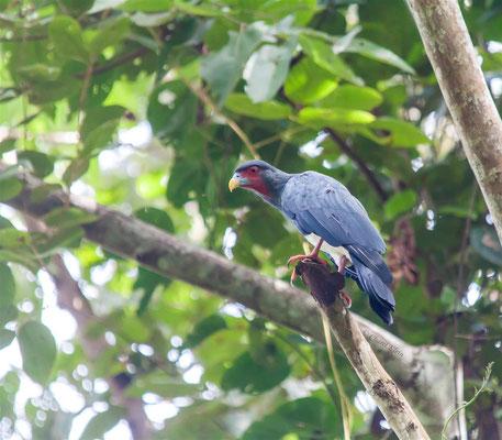 Red-throated Caracara    (Ibycter americanus)    -- Peru / Centro De Rescate Taricaya