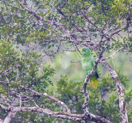 Mealy Parrot (Amazona farinosa) -- Peru / Centro De Rescate Taricaya