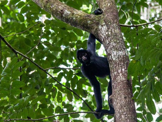 Peruvian spider monkey -- Peru / Centro De Rescate Taricaya