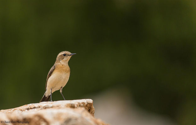 Eastern Black-eared Wheatear    (Oenanthe hispanica melanoleuca)    -- Birding Turkey 2015