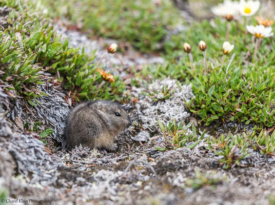 Northern Collared Lemming   (Dicrostonyx groenlandicus)   --   Traill / Karupelv Valley Project / Greenland   --   2015