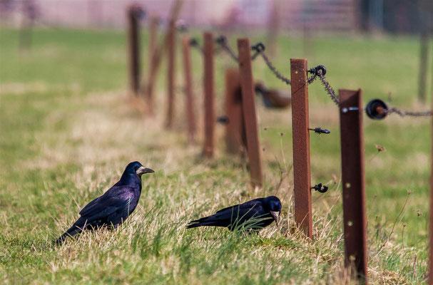 Rook (Corvus frugilegus) -- Luxembourg