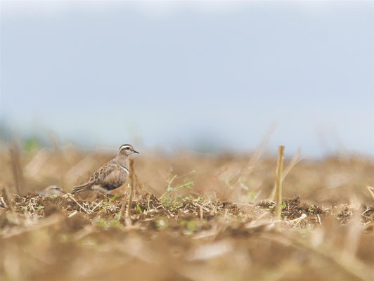 Eurasian Dotterel  (Charadrius morinellus) -- Schneeberg / Germany + France -- August 2013