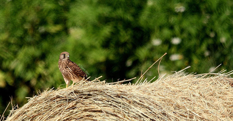 Common Kestrel (Falco tinnunculus) -- Camargue / France