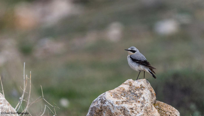 Northern Wheatear         (Oenanthe oenanthe)    --    Birdingtrip Turkey 2015