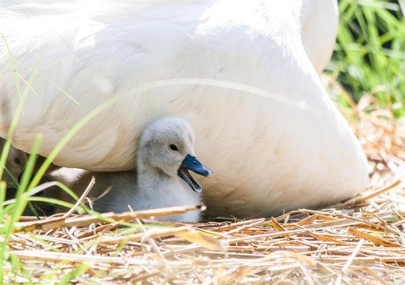 Höckerschwan     Mute Swan      (Cygnus olor)  -- Saint Louis / France