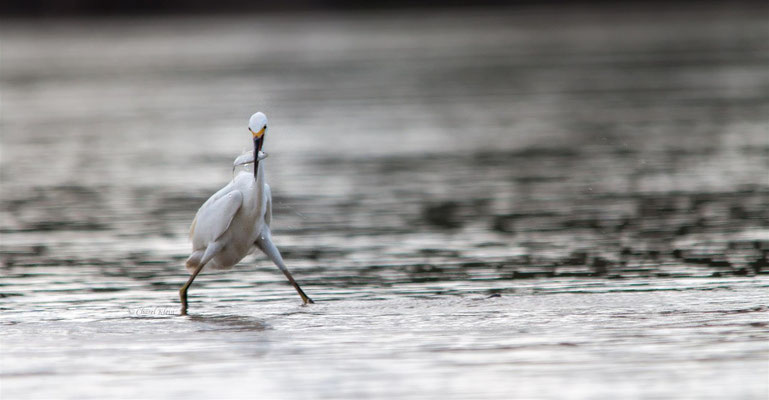 Snowy Egret (Egretta thula) -- Peru / Centro De Rescate Taricaya