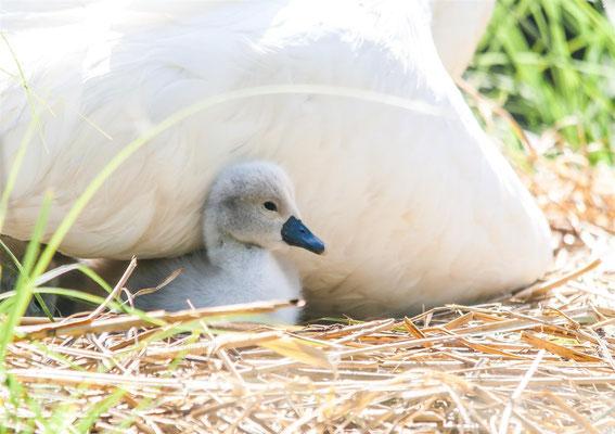 Mute Swan      (Cygnus olor)  -- Saint Louis / France