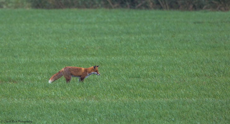 Red fox     (Vulpes vulpes) -- Darss / Germany -- Septemer 2014