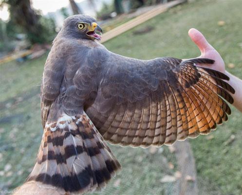 Roadside Hawk (Rupornis magnirostris) -- 2016