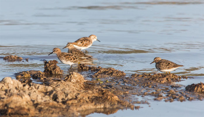 Temminck's Stint (Calidris temminckii) -- Birdingtrip Turkey  -- May 2015