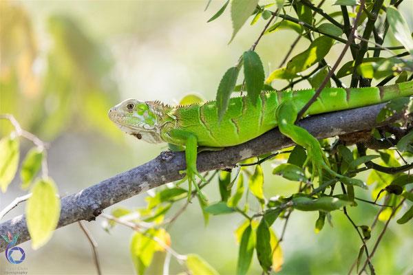(5) // Green Iguana