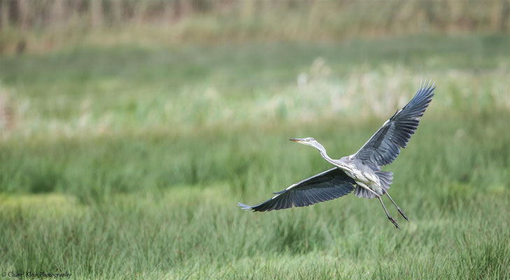 Grey Heron   (Ardea cinerea)   --   Drass / Germany   --   September 2014