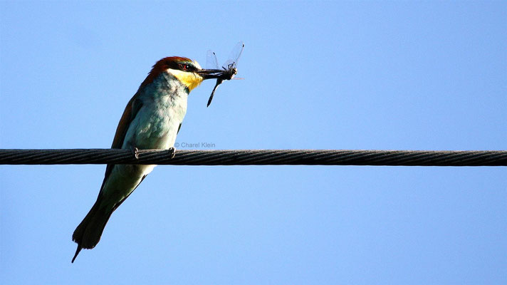 European Bee-eater (Merops apiaster) -- Camargue / France