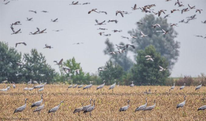 Common Cran   (Grus grus)   --   Darss / Germany   --  September 2014