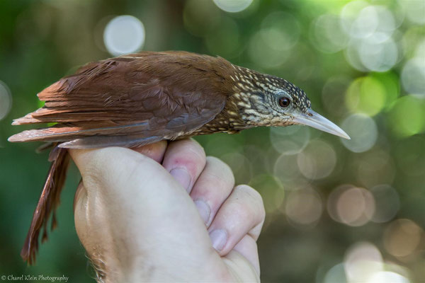 Straight-billed Woodcreeper (Xiphorhynchus picus)  --  2016