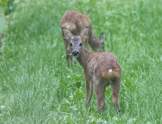 Roe deer  (Capreolus capreolus) -- Luxembourg 2013