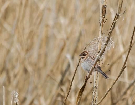 Common Reed Bunting (Emberiza schoeniclus) -- Luxembourg