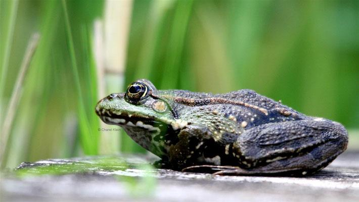 Wasserfrosch / Waterfrog