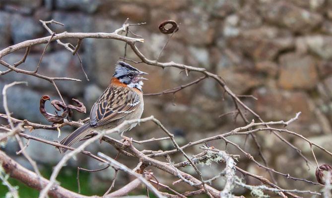 Morgenammer     Rufous-collared Sparrow (Zonotrichia capensis)  -- Peru / Centro De Rescate Taricaya