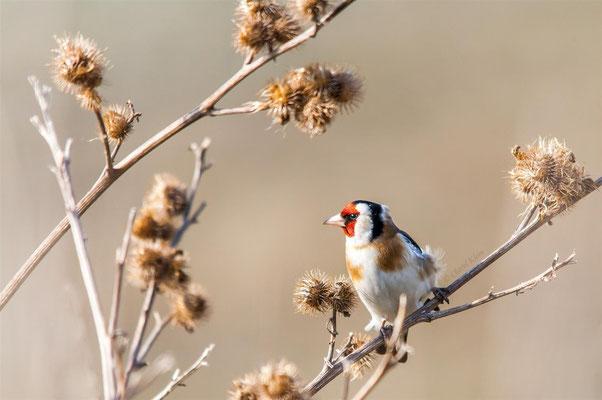 Goldfinch (Carduelis carduelis) -- Belgium