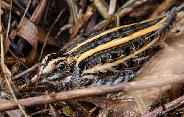 Jack Snipe      (Lymnocryptes minimus) -- Luxembourg