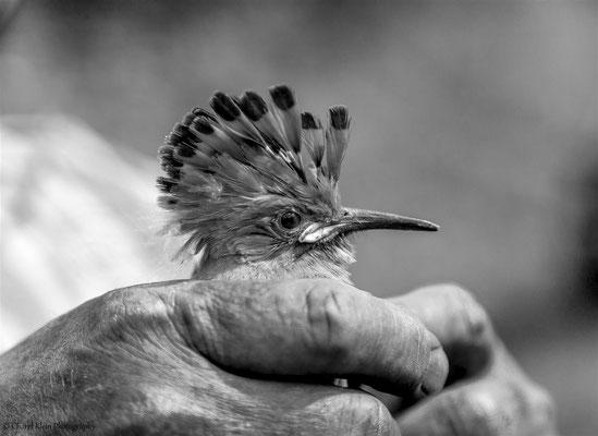 Birdringing