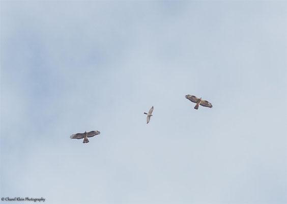 Levant Sparrowhawk (Accipiter brevipes) -- Birdingtrip Turkey