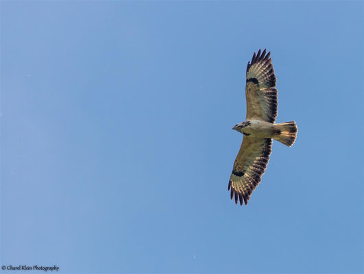 Common Buzzard    (Buteo bute)    --  Luxembourg