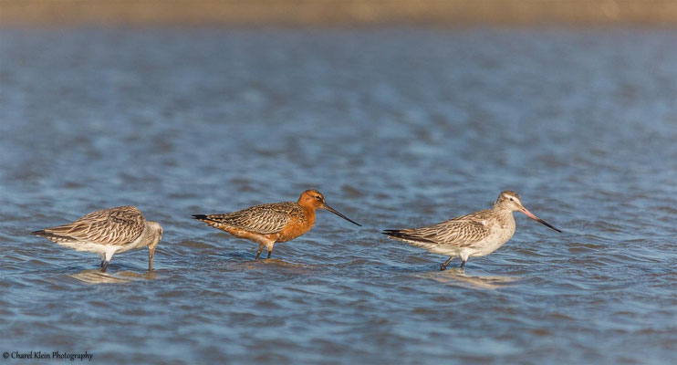 Bar-tailed Godwit (Limosa lapponica) -- Birdingtrip Turkey -- May 2015