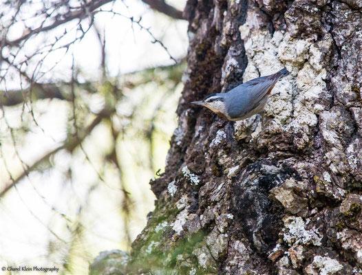 Krüper's Nuthatch    (Sitta krueperi)     --   Birdingtrip Turkey 2015