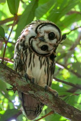 Schreieule     Striped Owl (Pseudoscops clamator) -- Peru / Centro De Rescate Taricaya
