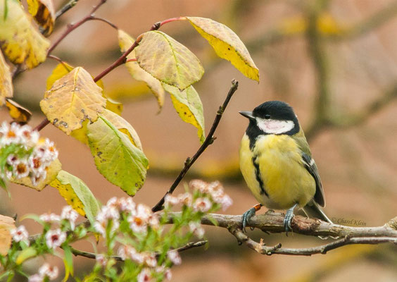 Great Tit (Parus major) -- Luxembourg