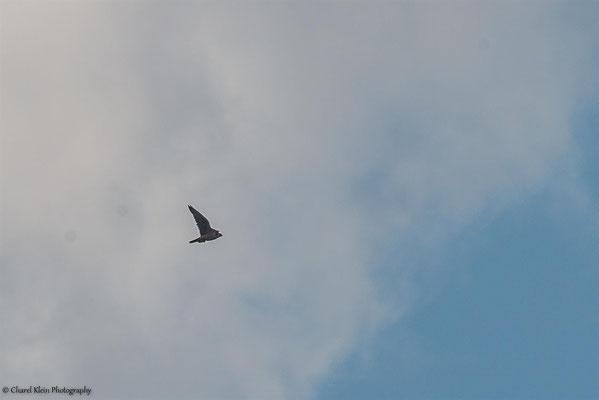 Saker Falcon (Falco cherrug) -- Birdingtrip Turkey 2015