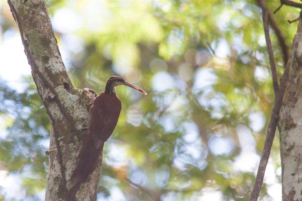 Long-billed Woodcreeper (Nasica longirostris) -- Peru / Centro De Rescate Taricaya