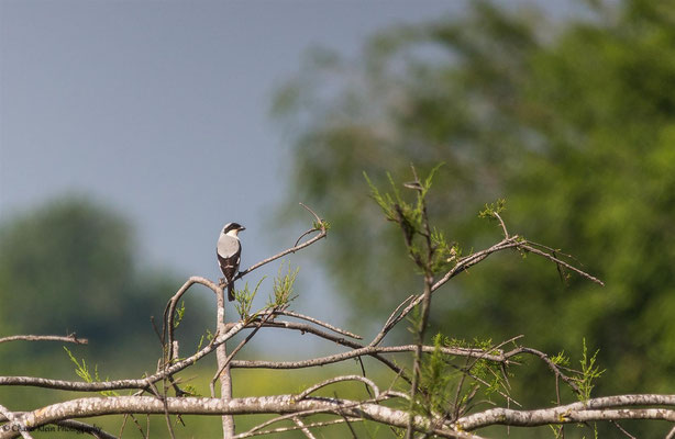 Lesser Grey Shrike     (Lanius minor)    -- Turkey