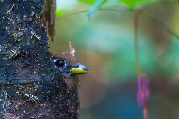Blue-crowned Trogon      (Trogon curucui) -- Peru / Centro De Rescate Taricaya