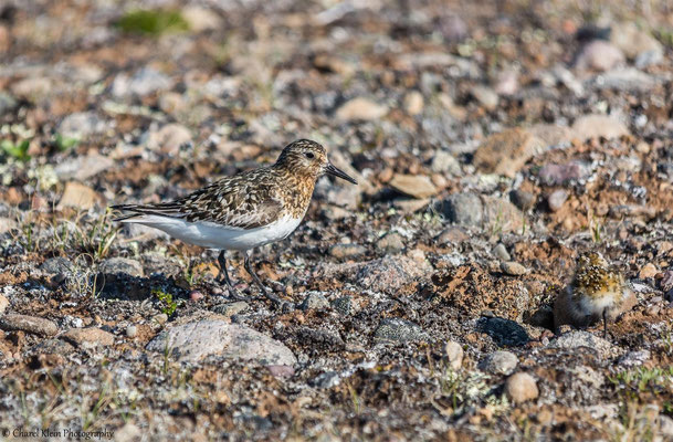 Sanderling    (Calidris alba)   --   Traill / Karupelv Valley Project / Greenland   --   July 2015