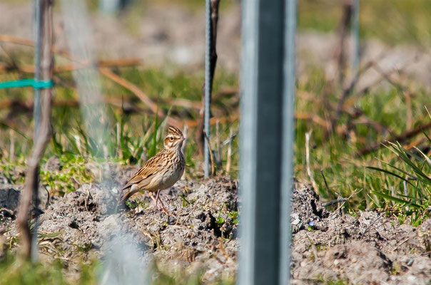 Woodlark (Lullula arborea) / First Woodlark in my vineyards  -- 2013  / Luxembourg