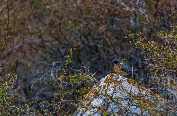 White-throated Robin (Irania gutturalis) -- Birdingtrip Turkey 2015