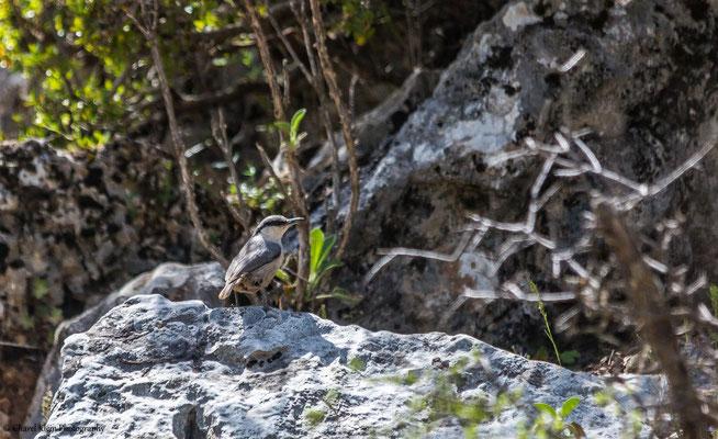 Western Rock Nuthatch    (Sitta neumayer)     --   Birdingtrip Turkey 2015