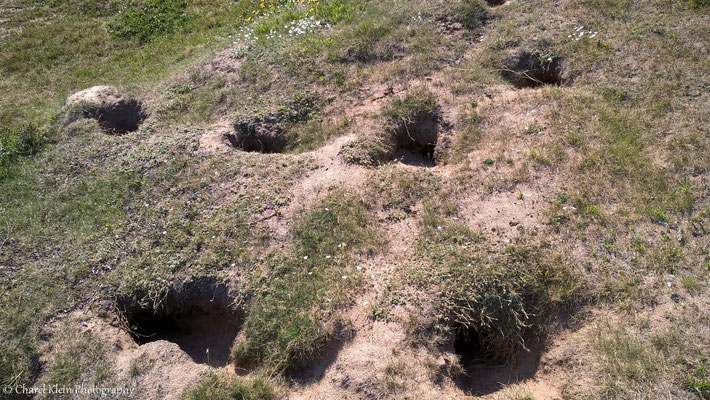 Old arctic fox burrow