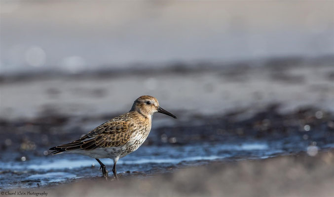 Dunlin   (Calidris alpina)   --   Darss / Germany   --   September 2014