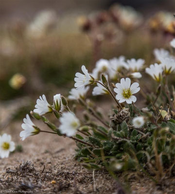 Arctic flowers -- Greenland 2015