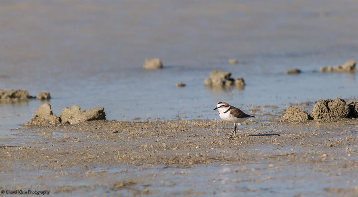 Kentish Plover (Charadrius alexandrinus) -- Birdingtrip Turkey -- May 2015