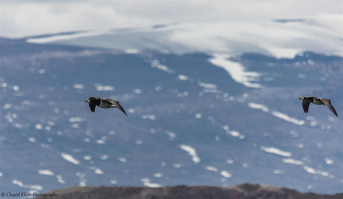 Barnacle Goose  (Branta leucopsis)   -- Trail / Karupelv Valley Project / Greenland   --  2015