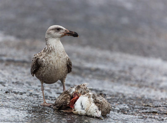 Great Black-backed gull (Larus marinus) -- Zeeland / Netherlands -- December 2014