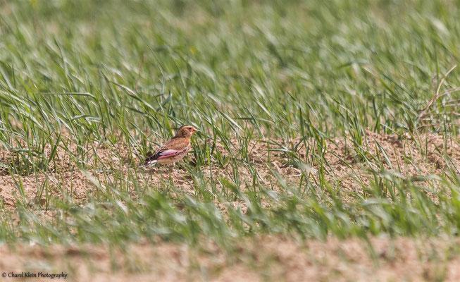 Crimson-winged Finch    (Rhodopechys sanguineus)    --   Lake Van / Birdingtrip Turkey 2015