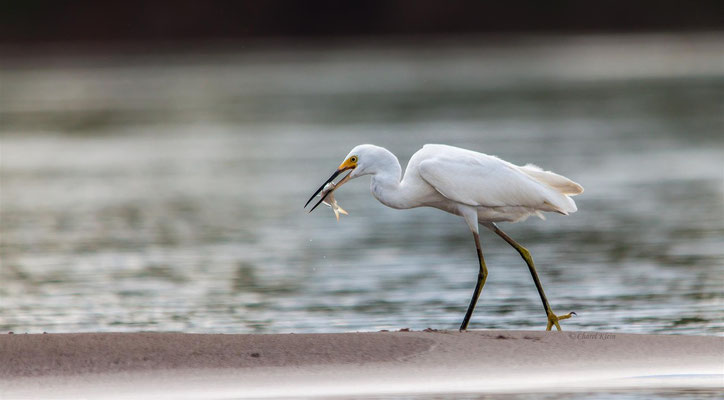 Schmuckreiher   |   Snowy Egret (Egretta thula)   -- Peru / Centro De Rescate Taricaya